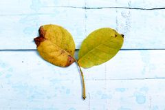 yellow walnut leaves in autumn,top view Stock Images