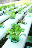 Hydroponics vegetable. Image of young hydroponics vegetables Royalty Free Stock Image