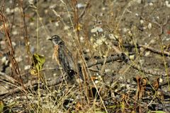 Young Red Robin Songbird. An image of a young red robin songbird hiding in the tall brown grass Royalty Free Stock Photography