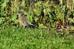 Young Red Robin Songbird. An image of a young red robin songbird searching for earthworms in the grass Royalty Free Stock Photo