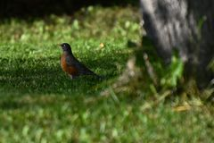Young Red Robin Songbird. An image of a young red robin songbird searching for earthworms in the grass Stock Images