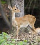 Image of young sambar deer. Royalty Free Stock Photography