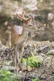 Image of young sambar deer. Royalty Free Stock Photos