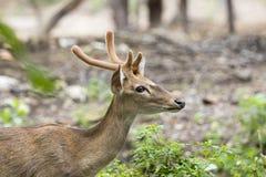 Image of young sambar deer. Stock Image