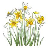 Daffodil flowers, isolated on white background. Hand-drawn illustrations. Image for your design projects Royalty Free Stock Image