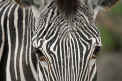 Image of  zebra face. Royalty Free Stock Images