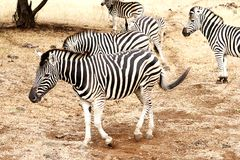 Zebra family Royalty Free Stock Photography