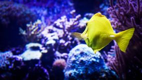 Image of zebrasoma yellow tang fish in aquarium royalty free stock image