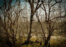 Imagem abstrata do fundo de árvores dos manguezais Fotografia de Stock