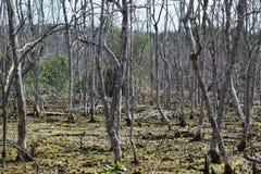 Imagem abstrata do fundo de árvores dos manguezais Fotografia de Stock Royalty Free