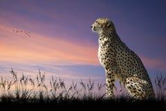 Imagem africana do safari da chita no savana Fotos de Stock