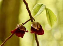 Imagem artística de flores e de folhas do pawpaw Foto de Stock Royalty Free