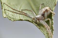Imagem ascendente próxima da aranha do caranguejo na folha Sharpen que empilha a imagem fotografia de stock royalty free