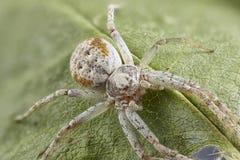 Imagem ascendente próxima da aranha do caranguejo na folha Sharpen que empilha a imagem fotos de stock royalty free