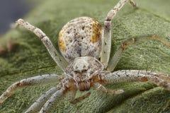 Imagem ascendente próxima da aranha do caranguejo na folha Sharpen que empilha a imagem fotos de stock