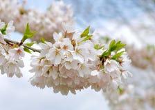 Imagem ascendente próxima da mola Cherry Blossom Flowers em um ramo de árvore Sakura fotografia de stock royalty free