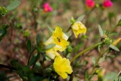 Imagem bonita da flor, imagem de Rose Flower, imagem da flor de HD foto de stock royalty free