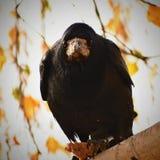Imagem bonita de um pássaro - corvo/corvo na natureza do outono (Frugilegus do Corvus) Fotos de Stock Royalty Free