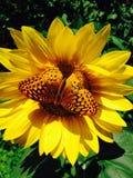 A imagem bonita de uma borboleta empoleirou-se em uma flor do girassol foto de stock