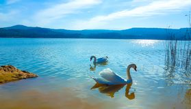 Imagem bonita do cisnes dos brancos no crepúsculo em um lago calmo fotos de stock royalty free