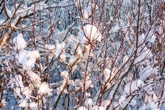 Imagem bonita do inverno landscape Os ramos cobertos de neve dos arbustos à vista do por do sol, podem ser usados como um fundo o imagem de stock