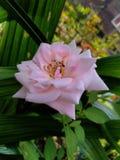 Imagem bonita do papel de parede do fundo do jasminflower do branco de jardim fotos de stock