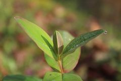 A imagem bonita do retrato da planta folheia com pérolas da água Imagens de Stock
