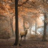 Imagem bonita do veado dos veados vermelhos na floresta colorida do outono nevoento fotos de stock