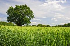 Imagem bonita do verão da mola do campo de milho Fotografia de Stock Royalty Free