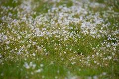 Imagem borrada de flores brancas pequenas entre a grama foto de stock royalty free