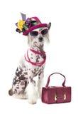 Imagem cômico de um cão com crista chinês calvo foto de stock