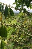 Imagem conservada em estoque da plantação de Croydon, Jamaica Fotografia de Stock Royalty Free