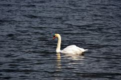 Imagem conservada em estoque do lago com uma cisne branca Fotografia de Stock