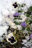Imagem conservada em estoque dos Pansies sob a neve fotografia de stock royalty free