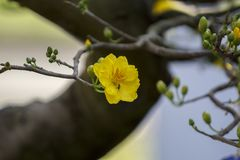 Imagem conservada em estoque livre de alta qualidade dos direitos da flor do Ochna O Ochna é símbolo do ano novo lunar tradiciona Foto de Stock Royalty Free
