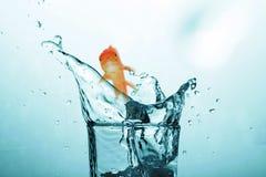 imagem 3D composta da natação do peixe dourado com a boca aberta contra a tela branca Foto de Stock