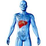 imagem 3d médica com o fígado destacado Foto de Stock Royalty Free