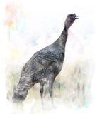 Imagem da aquarela do pássaro de Turquia Imagem de Stock