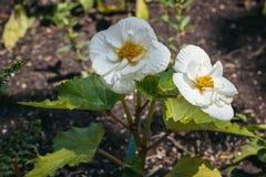 Imagem da begônia de florescência no parque imagem de stock
