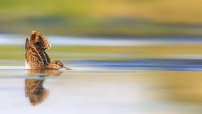 Imagem da caça, narceja na água com uma cauda aumentada Foto de Stock Royalty Free