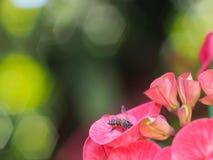 A imagem da coroa de espinhos floresce e abelha Imagem de Stock