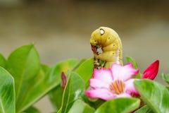 Imagem da Falcão-traça do oleandro de Caterpillar & do x28; Nerii& x29 de Daphnis; Fotografia de Stock