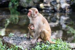 Imagem da família do Rhesus do Macaque Imagem de Stock Royalty Free