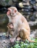 Imagem da família do Rhesus do Macaque Fotografia de Stock