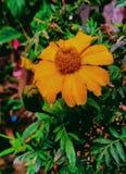 Imagem da flor Foto de Stock Royalty Free