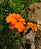 Imagem da flor Foto de Stock