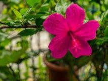 Imagem da flor cor-de-rosa bonita do hibiscus na chuva pesada, tiro próximo imagens de stock