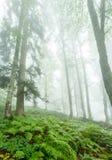 Imagem da floresta nevoenta com árvores Imagem de Stock