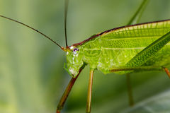 Imagem da folha verde pequena Katydid do gafanhoto , Leeu de Orthelimaea Fotografia de Stock
