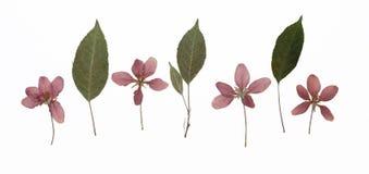 Imagem da maçã de caranguejo Siberian secada do baccata do Malus das flores em diversas variações fotografia de stock royalty free